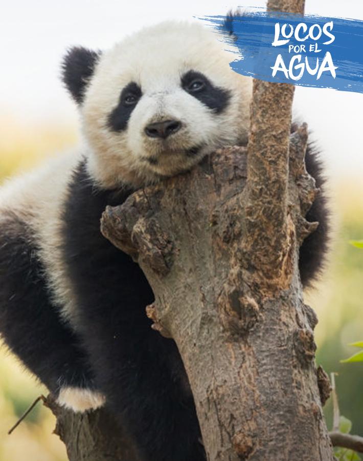 Panda en su habitad